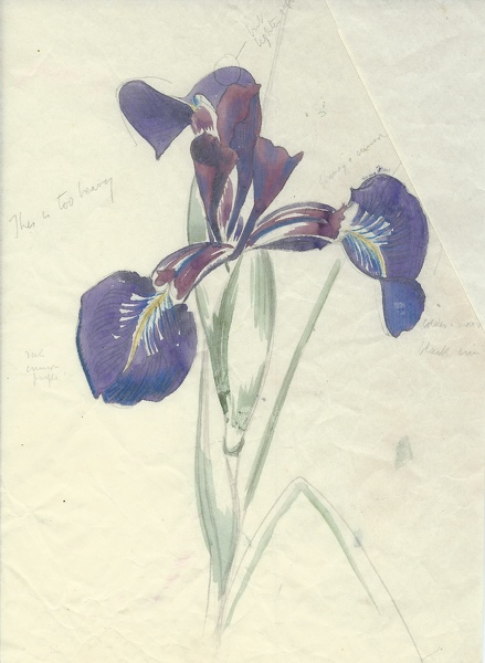 Artist John Nash: Study of a beardless Iris species