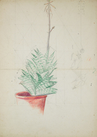 Study of Haworthia Attenuata