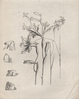 Study of Gladiolus tristis for page...