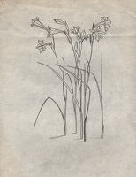 Studies of Gladiolus tristis for...