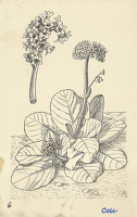 Artist Evelyn Dunbar and Charles Mahoney: Bergenia (Megasea) Crassifolia, design for Gardeners Choice, 1937