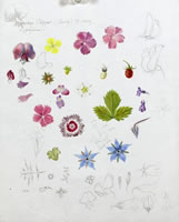 Study of cottage garden flowers