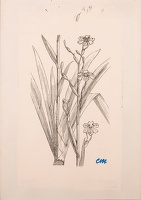 Sketch for Iris japonica (Ledger's...