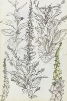 Foxgloves, circa 1935
